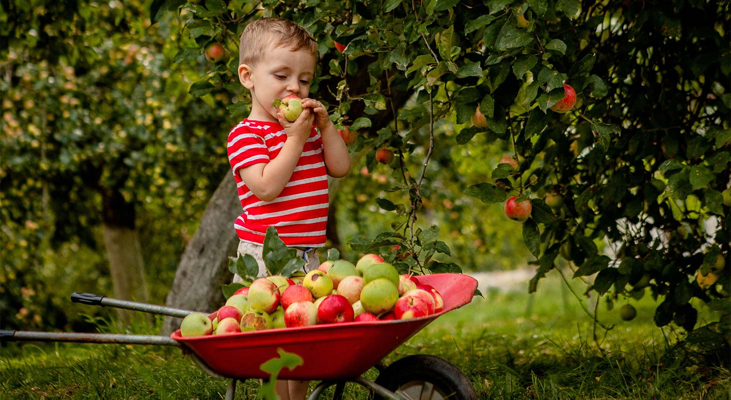 A litttle boy picking apples and filling up a small wheelbarrow
