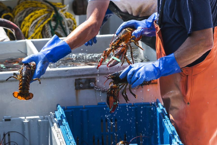 New England Lobster Boat Tour: Men with blue gloves handling fresh lobsters on boat