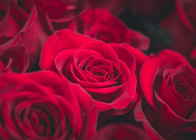 Closeup of red roses