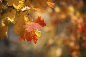 Autumnal leaves, red and yellow maple foliage against forest