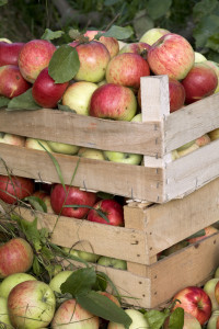 wooden boxes full of ripe apples, in the apple garden.